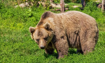 NaPodlasiu niemierzą temperatury niedźwiedziom