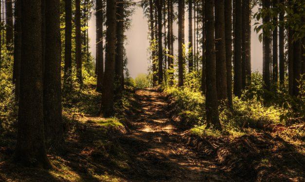 Masowa wycinka drzew? Lasy Państwowe dementują