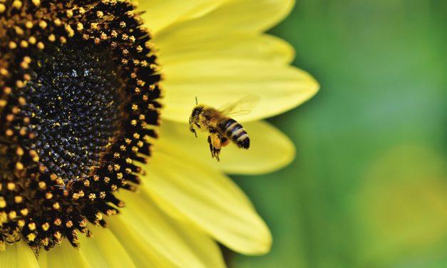 Nie, duńscy rolnicy niemają obowiązku uprawy kwiatów dla pszczół
